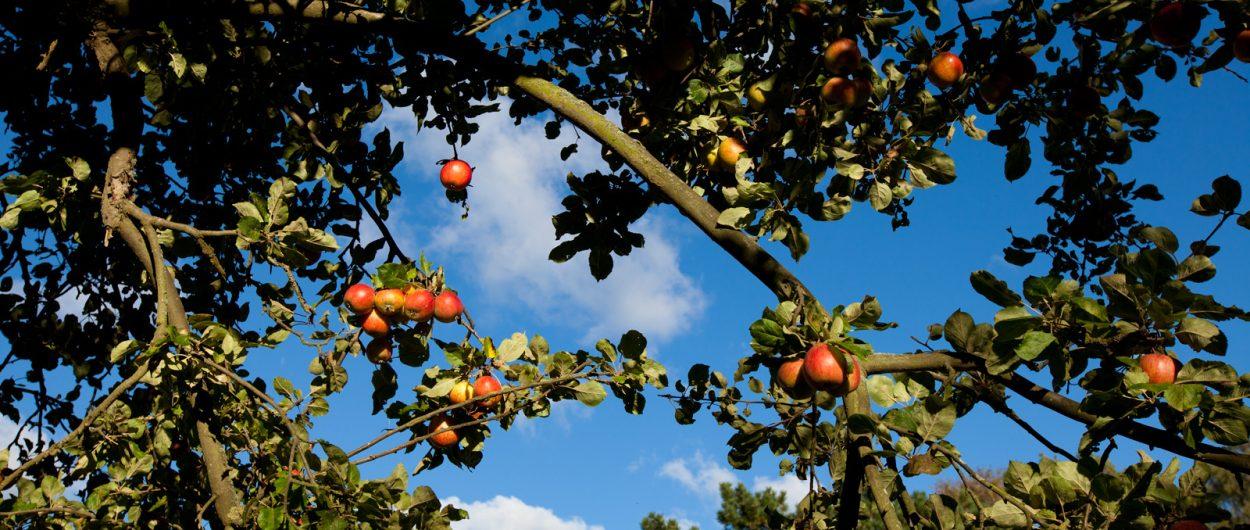 Apfelbaum, reife Äpfel
