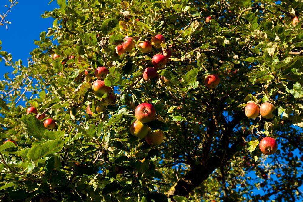 Apfelbaum, reife Äpfel, Ferienhäuser Boddenperlen